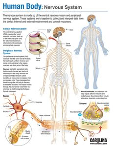 carolinacom nervous system human body Human Body Nervous System You can find Nervous System and more on our website Human Body Nervous System, Nervous System Anatomy, Peripheral Nervous System, Human Body Systems, Endocrine System, Human Body Anatomy, Human Anatomy And Physiology, Anatomy Organs, Nursing School Notes