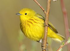 Yellow Warbler - 5/14/12 - Clear Creek Golden