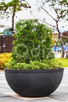 Qdiz Stock Photos   Bonsai pine tree in ceramic pot,  #asia #asian #black #bonsai #botanic #ceramic #china #chinese #decoration #decorative #green #houseplant #japan #japanese #mini #miniature #nature #ornamental #pine #plant #pot #traditional #tree #zen