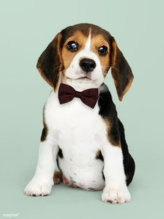 Cute beagle in a dark brown bow tie Yorkie Dogs, Beagle Puppy, Bulldog Puppies, Cute Puppies, Dogs And Puppies, Doggies, Goldendoodle, Border Collie Fotos, Poodle