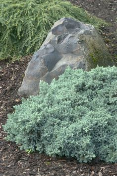 Blue Star Juniper | Juniperus squamata 'Blue Star' | 2-3' tall x 3-4' Wide | full sun | Groundcover, mass planting, rock gardening |  Monrovia