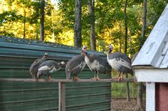 Guineas on the homestead.