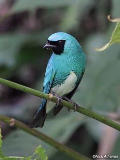 Swallow Tanager  Tersina viridis grisescens.   swallow, my favorite bird...gorgeous color!