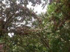Komm, lieber Mai und mache die Bäume wieder grün! Sogar der Flieder blüht schon!
