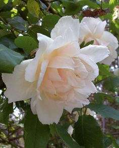 ~Tea Noisette Rose: Rosa 'Madame Alfred Carriere' (France, 1875)