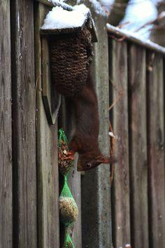 Eekhoorn in tuin