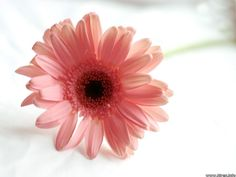 daisy...the second half of my next tattoo.  This is Makayla's birth flower.