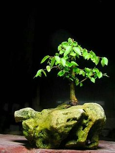 Bonsai Art, Bonsai Plants, Bonsai Garden, Bonsai Trees, Container Plants, Container Gardening, Japanese Bonsai Tree, Dwarf Trees, Moss Garden