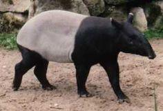 Tapir Photos