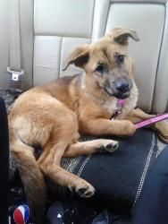 Roxy is an adoptable German Shepherd Dog Dog in Plainfield, IN. Roxy is a10 month old German Shepherd Mix. She was pulled from a high kill shelter where her time was up. She would do best with in a ho...