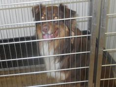 #OHIO ~ ID 13564 is an Australian Shepherd Aussie dog in #Norwalk from the Wakeman Pound & available 6/6/13 for #adoption into a loving home or receiving #rescue at the HURON COUNTY DOG WARDEN 130 Shady Lane Building E  #Norwalk OH 44857 hcdw@cros.net Ph 419-668-9773