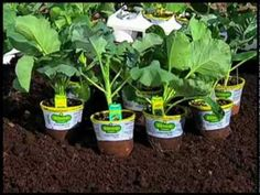 How to Plant Broccoli, Brussels Sprouts, Cabbage, Cauliflower, Kale, and Kohlrabi