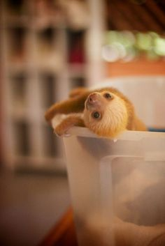 A young, smiling sloth climbing on a plastic tub.