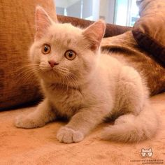"""From @izzulhaziqq: """"A cute ( lilac ) british shorthair, Toby!"""" #catsofinstagram [source: http://ift.tt/1LV0ldk ]"""