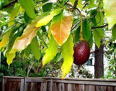 Dwarf Avocado Tree, Growing An Avocado Tree, Avocado Leaves, Gardening Zones, Container Gardening, Gardening Tips, Gardening Services, Gardening Vegetables, Gardening Supplies