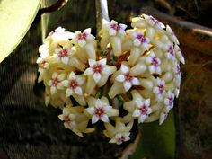 hoya seeds potted flowers bonsai plants hoya seed orchid seed diy home garden 100 particlespack gardens home and novels - Flowering House Plants Identification