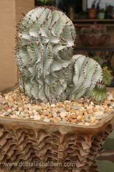 I splurged on this pot by Mark Muradian at a Cactus & Succulent Society sale. When I took the pot to the nursery, Euphorbia polygona practically jumped into it, says Debra Lee Baldwin.