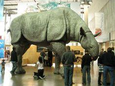 """Modelo a tamaño natural de un Paraceratherium (""""bestia casi cornuda""""), el mamífero terrestre más grande de la historia, que sepamos. Relacionado con los rinocerontes modernos, suplía la falta de cuernos defensivos con su imponente masa corporal."""
