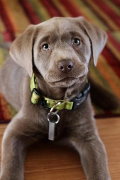 What size does a labrador grow to