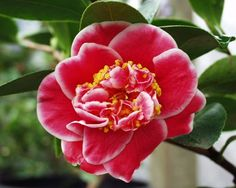 Tama Bambino (Camellia Japonica)