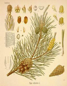 http://botanical.com/botanical/mgmh/p/pine--34a-l.jpg  Scotch pine