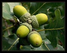Acorn / Eicheln by Rainer Fritz Go Green, Green Colors, Olive Green, Acorn And Oak, Mighty Oaks, Green Juice Recipes, Oak Leaves, Seed Pods, Fruit And Veg