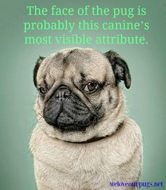 The face of the pug is probably this canine's most visible attribute. #pug #dog