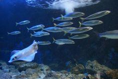 Visitez le seaquarium du Grau du Roi, dédié aux espèces marines. Découvrez un espace unique en Europe, le Requinarium. Entrez dans l'antre du requin.. Sites Touristiques, Europe, Pets, Unique, Painting, Animals, Outdoor Gardens, Shark, Tourism