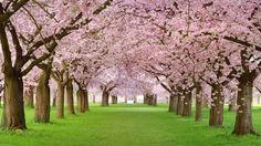 We'll be seeing these beautiful blossoms on trees sooner than later - cherry blossoms.