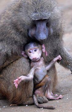 """Un babuino bebé de pocos días, se encuentra junto a su madre en un recinto en el """"ZOOM"""" Zoo en Gelsenkirchen, Alemania."""
