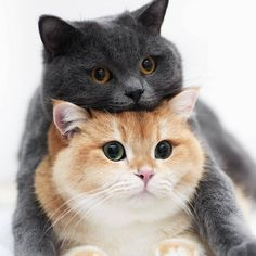 These cute kittens will bring you joy. Cats are awesome companions. Kittens Cutest, Cats And Kittens, Cute Cats, Funny Cats, Cats Meowing, Siamese Cats, Animals And Pets, Baby Animals, Funny Animals