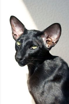 my next cat is going to be a black oriental cat. Pretty Cats, Beautiful Cats, Animals Beautiful, Animals And Pets, Baby Animals, Cute Animals, Siamese Cats, Cats And Kittens, Black Siamese Cat