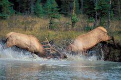 Bulls In Rut: Elk Fighting Behavior Captured In Photos Big Game Hunting, Trophy Hunting, Elk Hunting, Hunting Stuff, Elk Pictures, Hunting Pictures, Wildlife Photography, Animal Photography, Large Animals