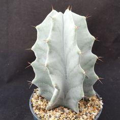 Lemaireocereus or Stenocereus pruinosus