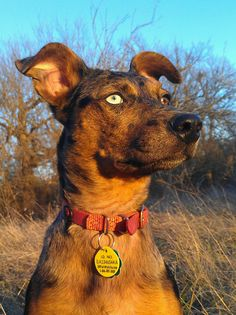 Iris the #Catahoula. Classic perked up floppy ears. (Was Scooby-Doo a Catahoula?)