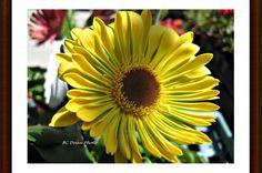Yellow Gerbera Daisy
