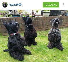 Scottie Mom: Scottish Terriers of Instagram: May 1