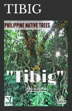 """TIBIG (Ficus nota) This fast-growing native tree is widely known as the """"water tree"""" because of community experiences that show significant increase of water volume when Tibig trees are planted. It can also serve as a nurse tree for slow-growing plants nearby. Many native animals benefit from Tibig because of its fruit and stem which gives drinkable water when cut. """"Protect our trees, our forests- our source of life!"""" (The Philippine Native Trees 101 Up Close And Personal, 2013) March 17… Fast Growing Trees, Growing Plants, Forest Plants, Wood Tree, Ficus, Flowering Trees, Landscape Architecture, Trees To Plant, Philippines"""