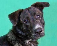 Rambo is an adoptable Shepherd Dog in Renfrew, PA.  ...