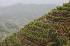 """""""In southern China, on the slopes of Phoenix Mountain, tea bushes are planted on terraces due to the steep gradients. This way of organising tea bushes is quite a rare sight around the world. Here, it makes this tea plantation on a mountainside where some remarkable wu longs are grown look a bit like a vineyard"""""""