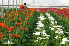 En #Bruflor producimos flores de bonitos colores como las gerberas.