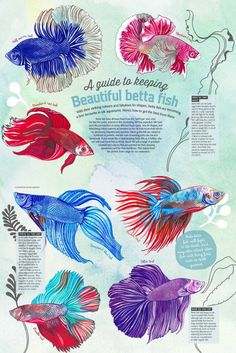 "Summary: Betta Fish also known as Siamese fighting fish; derives its name from the Thai phrase 'ikan bettah"". Mekong basin in Southeast Asia is the home of Betta Fish and is considered to be one of the best aquarium fishes. Fish Tank Drawing, Fish Drawings, Betta Fish Care, Betta Fish Tattoo, Baby Betta Fish, Tropical Fish Aquarium, Betta Aquarium, Fish Ocean, Softies"