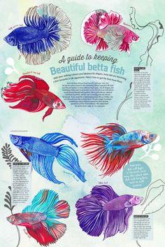 Betta care guide infographic fish pets aquarium for Betta fish training