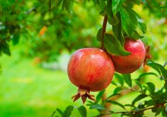Exquisite images of different fruit trees, this page contains twenty-five high definition pictures of many of the delicious fruit tree Pomegranate Juice Benefits, Pomegranate Varieties, Pomegranate Extract, Pomegranate Fruit, Magia Elemental, Avocado Health Benefits, Mini Bonsai, Forbidden Fruit, Fruit Seeds