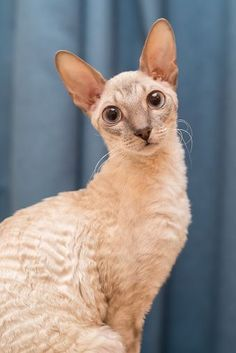 13 Smartest Cat Breed In The World Intelligence, jumping skills, and lengthy toes are what makes Cornish Rex cat amazing. This intelligent breed of cat has the skills to open doors, hang on different objects and can even rummage on your closets. Gatos Devon Rex, Devon Rex Cats, Crazy Cat Lady, Crazy Cats, Best Cat Breeds, Gatos Cool, Cornish Rex Cat, World Cat, Unique Cats