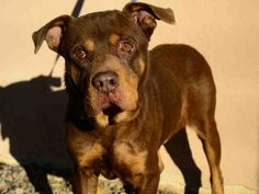 Shar Pei Mix, Rottweiler Mix, Types Of Dogs, Pet Id, Phoenix Arizona, Humane Society, Pet Dogs, Pitbulls, Adoption