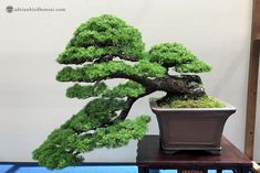 Image result for shari bonsai