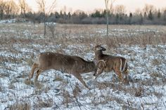 Buck off... by djlparent99 #animals #animal #pet #pets #animales #animallovers #photooftheday #amazing #picoftheday