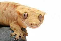 Crested Gecko care sheet and interesting information.
