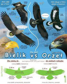 Bald Eagle, Bird, Movies, Movie Posters, Animals, Animales, Films, Animaux, Birds